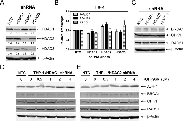 HDACs 1 and 2 cooperate in regulating BRCA1, CHK1, and RAD51 expression in AML cells ( A and C ) THP-1 cells were infected with HDAC1 (THP-1/HDAC1), HDAC2 (THP-1/HDAC2), HDAC3 (THP-1/HDAC3), or NTC control (THP-1/NTC) shRNA lentivirus overnight, then washed and incubated for 48 h prior to adding puromycin to the culture medium. Whole cell lysates were subjected to Western blotting and probed with the indicated antibodies. The fold changes for the densitometry measurements, normalized to β-actin and then compared to no drug treatment control, are indicated. These Western blots were previously published [ 15 ]. ( B ) Total RNAs were isolated from the transfected cells and gene transcript levels were determined by Real-time RT-PCR. Transcript levels were normalized to GAPDH and relative expression levels were calculated using the comparative Ct method. ( D and E ) THP-1/HDAC1 and THP-1/HDAC2 cells were treated with RGFP966 for 48 h. Whole cell lysates were subjected to Western blotting and probed with the indicated antibodies.