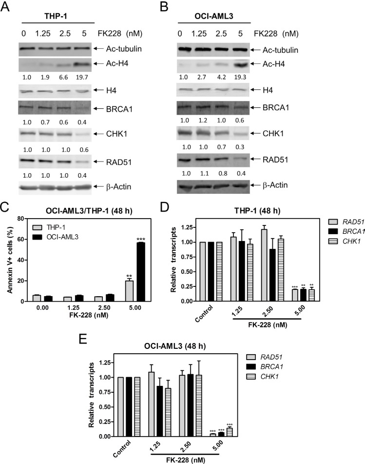 FK228 decreases expression of BRCA1, CHK1, and RAD51 by inhibiting HDAC1 and HDAC2 in AML cells ( A and B ) THP-1 and OCI-AML3 cells were treated with FK228 for 48 h and whole cell lysates were subjected to Western blotting and probed with the indicated antibodies. The fold changes for the densitometry measurements, normalized to β-actin and then compared to no drug treatment control, are indicated. ( C ) THP-1 and OCI-AML3 cells were treated with FK228 for 48 h and then subjected to Annexin V-FITC/PI staining and flow cytometry analyses. **indicates p