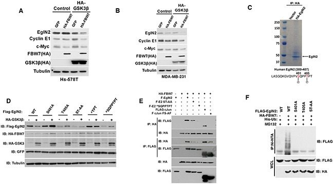 EglN2 C-terminal Residues Might Mediate Its Negative Regulation by FBW7 A-B . Immunoblot analysis of Hs-578T (A) and MDA-MB-231 (B) cells co-transfected with HA tagged FBW7 or GFP with either HA-tagged GSK3β or Control. Cell lysates were harvested 48 hours post-transfection. C . 293T cells were transfected with either HA tagged EglN2 or control followed by immunoprecipitation with HA agarose beads (3F10, Roche). Coomassie staining was performed to visualize the purified HA EglN2, which was cut followed by mass spectrometry analysis as described previously. EglN2 Ser401 and Thr405 sites were shown to be phosphorylated. D . Immunoblots for 293T cells co-transfected with various FLAG tagged EglN2 constructs (WT, S401A, T405A, ST-AA, ∧TPT or ∧SQPPTPT) and HA tagged GSK3β or Control (-). Equal amount of GFP was transfected to make sure of comparable transfection efficiency. Cell lysates were harvested 48 hours post-transfection. E . Immunoblot (IB) assays of whole cell extract (WCE) and immunoprecipitation (IP) of 293T cells (expressing Ctrl or HA-FBW7) co-transfected with Flag-EglN2 (F-EglN2), Flag-EglN2 ST-AA, Flag-EglN2 ∧SQPPTPT, Flag c-Jun or Flag c-Jun FS-AF mutants. Cells were treated with MG132 (10 μM) for overnight before harvesting at 48 hours post-transfection. F . In vivo ubiquitination assays of immunoprecipitation (IP with Ni-NTA) of 293T cells (expressing Ctrl or HA-FBW7) co-transfected with Flag-EglN2 (WT), Flag-EglN2 S401A, T405A or ST-AA. Cells were treated with MG132 (10 μM) for overnight before harvesting at 48 hours post-transfection.