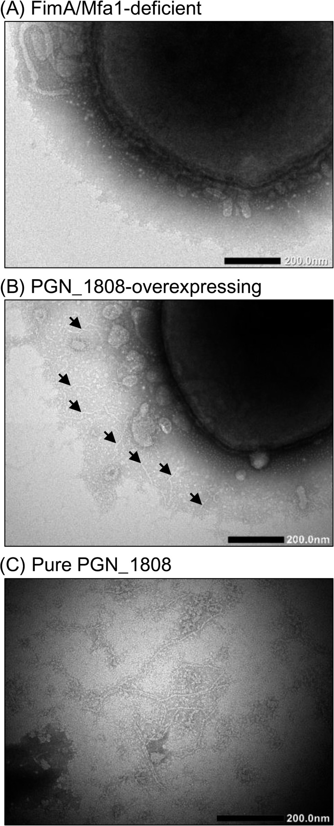 Transmission electron micrographs. Whole cells of the P . gingivalis mutant that was deficient in both FimA and Mfa1 fimbriae (A), whole cells of the PGN_1808-overexpressing mutant (B), and fractionated PGN_1808 (C) were negatively stained, then observed by TEM. Filamentous structures (2‒3 nm × 200‒400 nm) were observed on cell surfaces of the PGN_1808-overexpressing mutant (indicated by arrows) and in the PGN_1808 fraction. Scale bars indicate 200 nm.