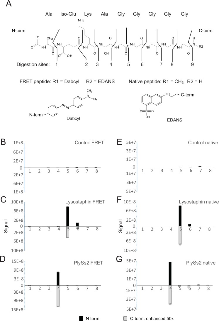 Cleavage patterns of different staphylococcal endopeptidases using FRET-labeled and native peptides. Peptidoglycan-like peptides (A) were incubated overnight with buffer only (B, E), lysostaphin (C, F), or PlySs2 (D, G). Both FRET-labeled (B-D), and native peptides (E-G) were used. Generated fragments were detected using LC-MS and analyzed using Skyline. Panels B through G: Measured signals are shown on the y-axis. N-terminal fragments are shown as positive values (black bars) while fragments corresponding to the C-termini are shown with light grey bars. Because the C-terminal signals were found to be very low, the values were multiplied by 50 for visualization purposes. Standard deviations for the replicated measurements are shown. The x-axis shows the origin of the signal with respect to the peptidoglycan-like peptide.