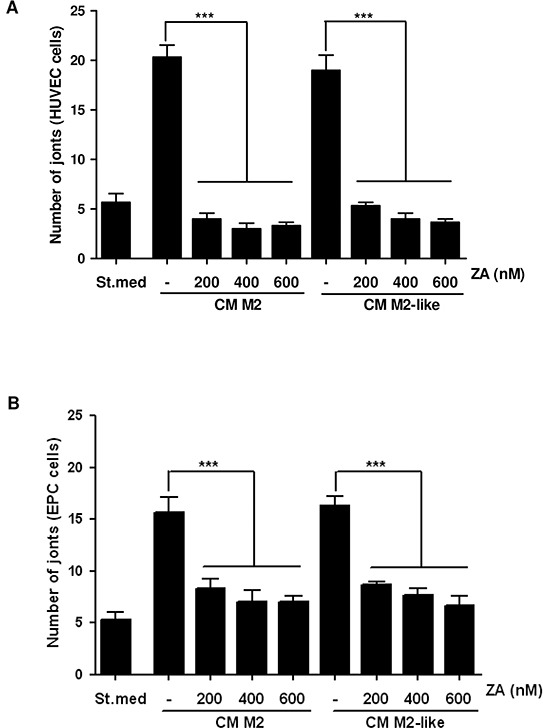 Treatment with ZA inhibits the M2/M2-like macrophages-induced pro-angiogenic effect M2 and M2-like macrophages were obtained by treating monocytes for 7 days with M-CSF (then treated with IL-4 for additional 24h) or with CM from PC3, respectively. M2 and M2-like macrophages were treated with different concentrations of ZA during differentiation and then were serum-starved for 48h to obtain the corresponding CM. HUVEC A. and EPC B. cells were treated with CM from the above differentiated macrophages (treated or not with ZA) and in vitro angiogenesis was evaluated by capillary morphogenesis assay. The number of joints was quantified and plotted in the bar graph. 1-way ANOVA, Dunnett's corrected, ***p