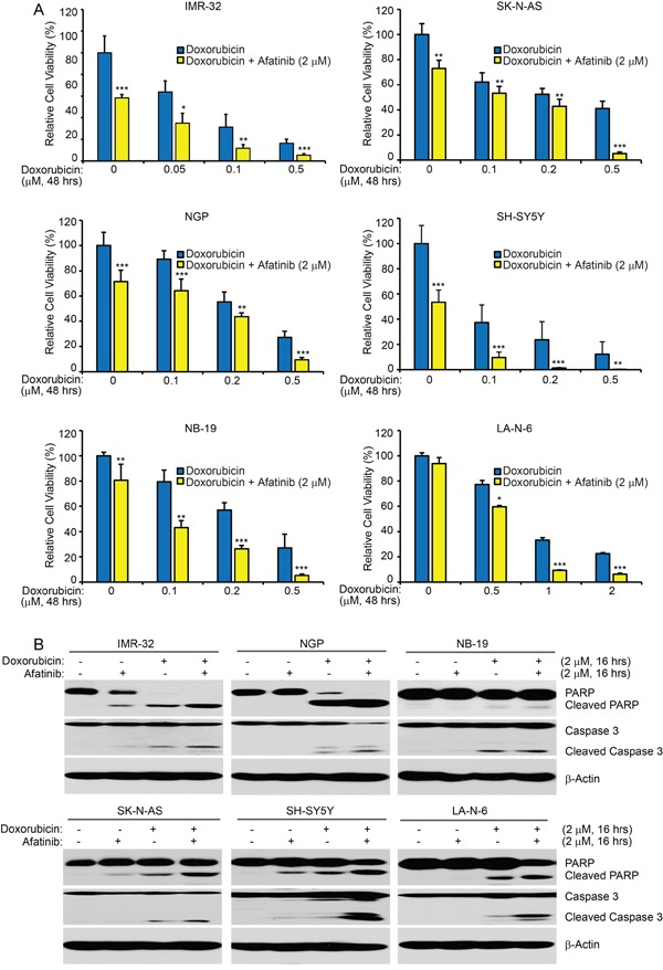 Afatinib enhances doxorubicin-induced cytotoxicity in NB cells A. Six cell lines were seeded in 96-well plates and were incubated with doxorubicin at the indicated concentrations with or without afatinib (2 μM) for 48 hrs. Cell viability was then measured by CCK-8 assay. Data were represented as mean ± SD. P