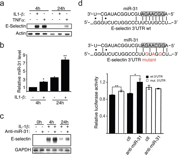 IL-1β induces the expression of miR-31, which affects E-selectin abundance a. The monolayer of HUVEC endothelial cells was treated with IL-1β (20ng/ml) or TNFα (10ng/ml) for indicated hours. Western blotting monitored the expression of E-selectin and Actin used as loading control. b. The miR-31 level was measured by quantitative reverse transcription-PCR and the snRNA U6 was used as the normalization control. c. Endothelial cells were transfected with 30nM of either anti-miR-31 (+) or corresponding inhibitor negative control (−) before the addition of IL-1β. The Western blots shown are representative of three independent experiments. The endogenous GAPDH was used as loading control. d. Top: The representation of miR-31 base-pairing with either E-selectin wild-type (wt) or mutated (mut) 3′ UTR sequence. The nucleotides in the gray box represent the seed region of miR-31, region important for target interaction. Bottom: E-selectin 3′UTR mediated reporter assays. Vector expressing luciferase reporter under the regulation of either wild-type (black bars) or mutated (white bars) E-selectin 3′UTR were transfected into <t>HEK293T</t> cells. 48 hours after transfection, relative luciferase activities were measured. Another set of reporters transfected cells were also transfected with 30nM of either anti-miR-31 or corresponding inhibitor negative control (ctl) to further test the contribution of miR-31 in E-selectin regulation. The error bars shown in panel b and d represent standard errors of three and six independent experiments, respectively. The significance was analyzed using a Student's t -test (* p