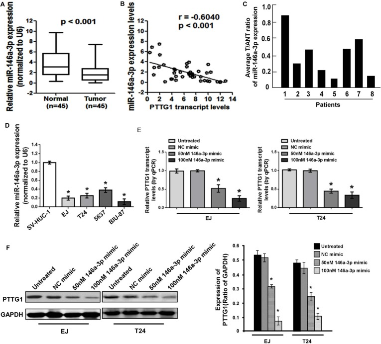 miR-146a-3p was downregulated in BC cells and tissues ( A ) Real-time RT-PCR analysis suggested miR-146a-3p was downregulated in BC tissues compared to the adjacent normal bladder tissues. ( B ) miR-146a-3p levels were negatively correlated with PTTG1 levels in BC tissues. ( C ) Real-time RT-PCR analysis suggested miR-146a-3p was downregulated in another eight BC tissues compared to the adjacent normal bladder tissues. ( D ) Real-time RT-PCR analysis suggested miR-146a-3p was downregulated in BC cells. ( E ) Real-time RT-PCR analysis suggested miR-146a-3p overexpression inhibited PTTG1 mRNA levels. ( F ) Western blot assay suggested miR-146a-3p overexpression decreased PTTG1 protein levels. GAPDH was used as the loading control. * P
