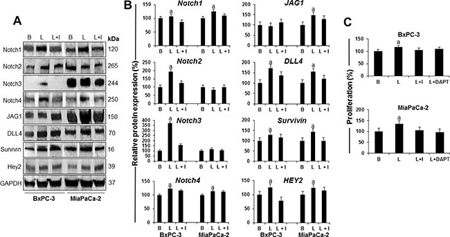 Leptin-induced Notch is linked to proliferation of PC cells ( A ) Representative western blot results of leptin induction of Notch receptors, ligands and targeted molecules in PC cells. ( B ) Quantitative analysis of leptin-induced effects on Notch, ligands and targets. ( C ) Effects of DAPT (a gamma secretase inhibitor) and IONP-LPrA2 (a leptin signaling inhibitor) on leptin-induced proliferation of PC cells. BxPC-3 and MiaPaCa-2 cells were treated with leptin and IONP-LPrA2 for 24 hours. Whole cell lysates were analyzed by western blot. GAPDH was used as protein loading control. Proliferation was determined by MTT assay. PC cells were treated with leptin, IONP-LPrA2 and DAPT for 24 h. Basal (untreated) condition was used as control (100%). Data are expressed as % of control and represent at least three independent experiments. B = basal; L = leptin (1.2 nM); I = IONP-LPrA2 (0.0036 pM); L+I = leptin (1.2 nM) + IONP-LPrA2 (0.0036 pM); L+DAPT = leptin(1.2 nM) + DAPT (20 μM); a: p ≤ 0.05 compared to basal condition.