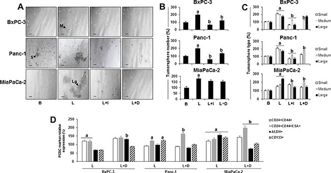 Effects of leptin and Notch on number and size of primary tumorspheres and PC stem cells (PCSC) ( A ) Representative images of tumorspheres (scale bar = 60 μm) ( B ) Number of PC tumorspheres ( C ) Number of PC tumorspheres by size ( D ) Relative expression of PCSC markers in cells from PC tumorspheres. BxPC-3, Panc-1 and MiaPaCa-2 cells (20,000 cells/well in low attachment plates) were cultured in Mammocult medium containing leptin, IONP-LPrA2 and DAPT (γ-secretase inhibitor-GSI) for 1 week. Tumorsphere number and size were determined under microscope and PCSC markers were assessed by flow cytometry analysis. Basal condition (untreated) was used as control (100%). Effects of treatment on tumorspheres and PCSC markers was expressed as % of control. All experiments were performed in triplicate. a: p ≤ 0.05 when compared to control; b: p ≤ 0.05 when compared to leptin. B = basal; L = leptin (1.2 nM); L+I = leptin (1.2 nM) + IONP-LPrA2 (0.0036 pM); L+D = leptin (1.2 nM) + DAPT (20 μM); S = small tumorsphere; M = medium tumorsphere; Lg = large tumorsphere.