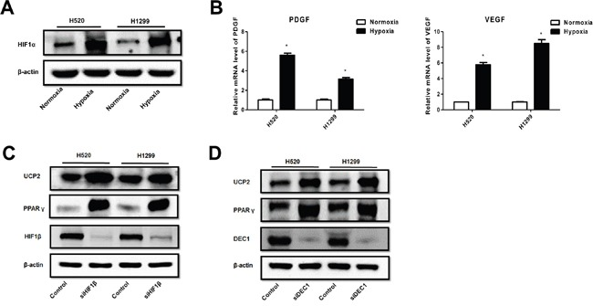 Hypoxia suppression of PPAR-γ and UCP2 was mediated by HIF-1α in NSCLC cells A . Western blot analysis of cells pre-exposed to normoxia or hypoxia. B . qRT-PCR assays for the expression of HIF-1 target genes. C, D . Cells were transfected with siRNAs against the indicated genes, exposed to hypoxia, and subjected to Western blot analysis. Data are represented as the mean ± SEM of n = 3 replicates or representative of 3 independent experiments. * P