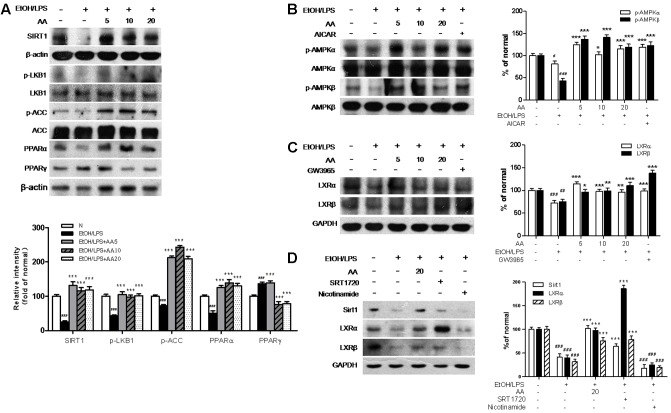 Acanthoic acid increases the LXRs activities and activates the Sirt1/LKB1/AMPK/ACC signaling pathways in EtOH/LPS stimulated AML-12 cell. AML-12 cells were pretreated with AA (5, 10, 20 μM), or AICAR (500 μM), or GW3965 (1 μM), or SRT1720 (6 μM), or Nicotinamide (20 mM) for 2 h, respectively, and then following treated with EtOH (200 mM) and LPS (10 ng/ml) for additional 48 h. (A) Representative western blot analysis of Sirt1, p-LKB1, p-ACC, PPARα, and PPARγ was normalized based on the internal control β-actin. (B) Representative western blot analysis of p-AMPKα, p-AMPKβ, total AMPKα and AMPKβ. (C) Representative western blot analysis of LXRα and LXRβ was normalized based on the internal control GAPDH. (D) Representative western blot analysis of Sirt1, LXRα and LXRβ was normalized based on the internal control GAPDH. # p