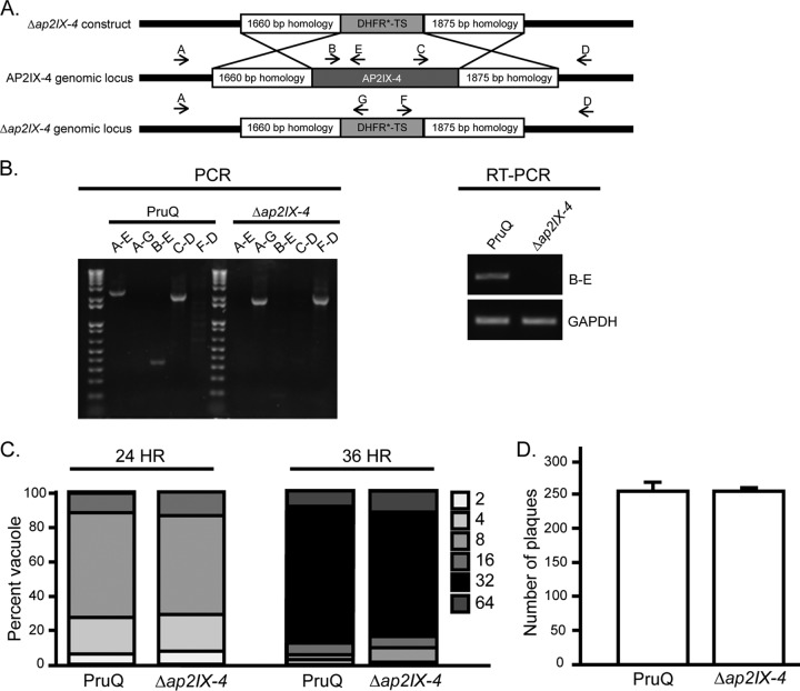 Generation of PruQΔ ap2IX-4 parasites. (A) Schematic illustrating the generation of the AP2IX-4 knockout by allelic replacement with a DHFR*-TS minigene. (B) Genomic PCRs were performed with the indicated primers (A to G) to verify replacement of the AP2IX-4 genomic locus with the DHFR*-TS minigene. RT-PCR performed with primers B and E confirmed the absence of AP2IX-4 transcripts in PruQ Δap2IX-4 parasites. Primers for GAPDH were used as a positive control for the RNA preparation. (C) Representative doubling assay showing the number of parasites/vacuole at 24- and 36-h time points postinfection for parental PruQ versus PruQ Δap2IX-4 parasites. Three independent assays were performed with similar results. P > 0.05 (unpaired two-tailed Student's t test). (D) Plaque assays were performed to compare the in vitro viability of PruQ parasites to that of PruQ Δap2IX-4 parasites. Three independent assays were performed with similar results. P = 0.98 (unpaired two-tailed Student's t test).