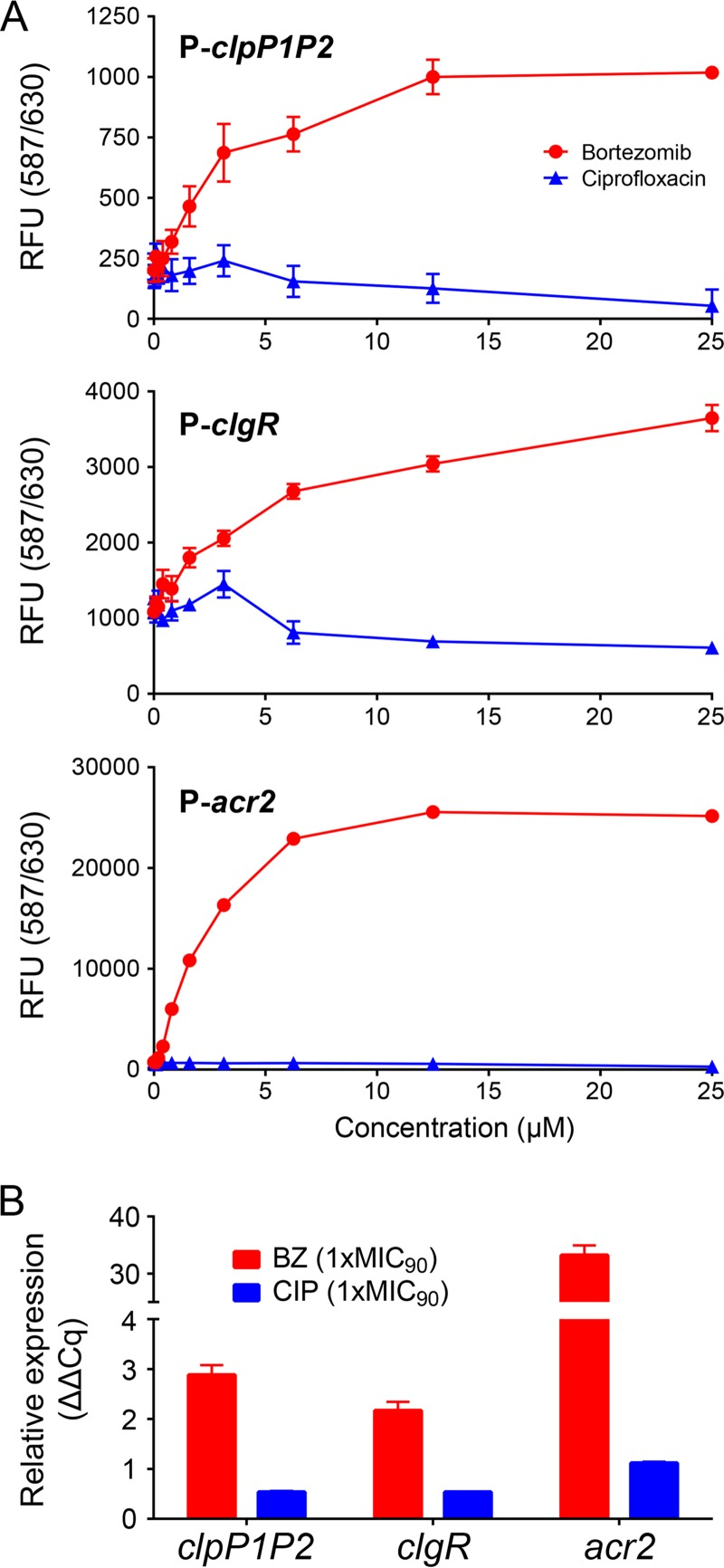 Bortezomib treatment increases transcription of clpP1P2 , clgR , and acr2 genes in M. bovis BCG. (A) Bortezomib dose-dependent increase of RFP expression under the control of P- clpP1P2 , P- clgR , and P- acr2 promoters after 24 h of bortezomib treatment. RFU, relative fluorescence units. Primers and plasmid construction procedures using the integrative plasmid pMV306 ( 18 ) to generate the respective reporter strains are listed in Table S1 in the supplemental material. OD 600 was measured during the course of the experiment and was found to increase a maximum of 2-fold in the drug-free samples and less in the drug-containing samples. (B) Bortezomib-dependent increase of clpP1P2 , clgR , and acr2 mRNA. Transcript levels were measured after 16 h of bortezomib treatment. Primer sequences ( 16 , 19 ) can be found in Table S2 in the supplemental material. Relative expression (quantification cycle [ΔΔ C q ]) was calculated as described previously ( 20 ) by using 16S RNA as the reference. BZ, bortezomib. CIP, ciprofloxacin. MIC 90 , drug concentration that inhibited growth of the bacteria by 90%. MIC 90 of BZ, 12.5 µM. MIC 90 of CIP, 1.6 µM. Data in panels A and B are represented as means ± standard deviations from two biological and four technical replicates.