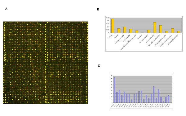 Array fabrication and gene annotation (A) False-colour image generated from a bovine-Cy5, human-Cy3 hybridisation. False colour images were generated using the programme ScanAlyze, version 2.44 . The full array (24 × 25 spotting pattern) consists of 16 blocks with each gene spotted 5 times per block therefore 80 potential data points present for expression analysis per gene. A blow-up of 4 blocks illustrating the Chip design is presented. The ACTIN cDNAs acting as guide-dots can be seen as intense yellow spots demarcating each block. In addition, the majority of spots appear yellow due to similar expression levels of the orthologous genes. (B) Functional annotation of the 349 genes as set out by the Gene Ontology Consortium .The proportion of these genes within each functional / biological annotation is represented on the Y-axis and the annotation on the X-axis. (C) Chromosomal distribution of the 349 genes. The number of genes within each chromosome is represented on the Y-axis and the chromosome numbers on the X-axis.