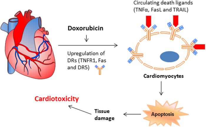 A working model by which doxorubicin induces cardiotoxicity through upregulation of death receptors mediated apoptosis in cardiomyocytes. Doxorubicin and related anthracyclines appear to be potent inducers of the expression of death receptors (TNFR1, Fas, DR4 and DR5) in cardiomyocytes. The upregulated DRs may undergo clustering or engage their cognate ligands, thereby triggering a caspase cascade and ultimate apoptosis in cardiomyocytes. The elevated serum levels of specific TNF cytokines (e.g., TRAIL), which could occur under certain disease and treatment conditions, may be predictive of the risk of cardiotoxicity in individual patients prior to the administration of doxorubicin or anthracycline agents.
