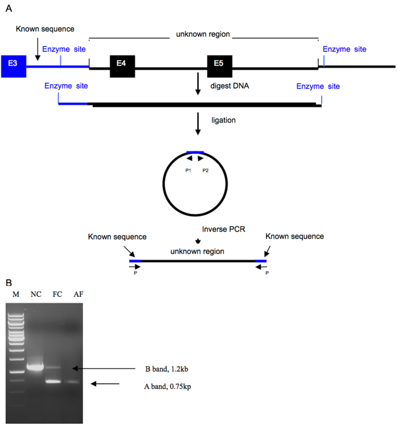 ( A ) Schematic diagram of the self-ligation of restriction endonuclease-digested DNA fragments with long-distance inverse PCR. The blue line denoted the known sequence in intron3 of RP2 gene. The unknown region is a particular region to be investigated containing the breakpoints of the deletion. Capital E represents the exon. Small arrows with the letter P represent the sites of the primer. ( B ) After digestion with BglII and then circularization with T4 DNA ligase followed by inverse PCR, an approximately 750 bp fragment (A band) was produced from an affected male (AF) and a female carrier (FC), while an approximately 1.2 kb fragment (B band) was produced from the female carrier and a normal control (NC).
