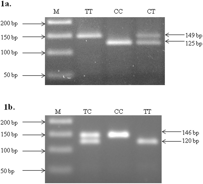 RFLP profiling of hsa-miR-196a-2 rs11614913 C > T (a) and hsa-miR-499 rs 3746444 T > C (b). 1a - 146 bp DNA fragment was amplified using PCR and incubated with <t>MspI</t> at 37°C for 12–16 hrs. Hsa-miR-196a-2 rs11614913 C > T genotype were deduced from migration profile on 2% agarose gel electrophoresis. Lane M shows 50bp molecular marker, wild type DNA visible in lane CC, heterozygous mutant in lane CT and homozygous mutant in lane TT. 1b - 149 bp DNA fragment was amplified using PCR, incubated with <t>BclI</t> at 37°C for 12–16 hrs, hsa-miR-499 rs 3746444 T > C genotype were deduced from migration profile on 2% agarose gel electrophoresis. Lane M shows 50bp molecular marker, wild type DNA visible in lane TT, heterozygous mutant in lane TC and homozygous mutant in lane CC.