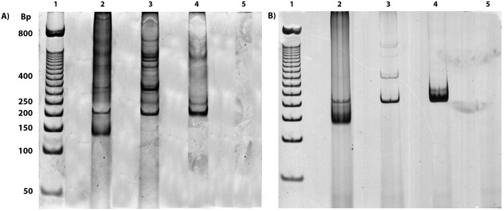 Silver-stained electrophoresis polyacrylamide gel obtained from the amplification of gapdh and kDNA with the multiplex PCR system. (A) PCR products from the multiplex PCR system using Taq DNA polymerase enzymes (ABM ® ) in the presence of 5% DMSO. (B) PCR products from the multiplex PCR system using the FideliTaq PCR Master Mix (Affymetrix, USB). In both figures: 1. molecular-weight marker (50-bp DNA ladder); 2. infected rodent; 3. uninfected rodent; 4. human DNA; and 5. negative PCR control.