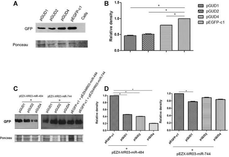 : cellular miRNAs alter the expression of GFP-fused to the 3′ UTR of Dengue virus (DENV) RNA. (A) Vero cells were transfected with pGUD1, pGUD2, pGUD4, or pEGFP-C1 and the GFP expression was determined by western blotting after 24 h, using an anti-GFP antibody; (b) band intensities quantified by densitometry; (C) Vero cells were co-transfected with pGUD1, pGUD2, pGUD4, or pEGFP-C1 and pEZX-mR03-miR-484 or pEZX-mR03-miR-744, and GFP expression was then determined by western blot after 24 h using an anti-GFP antibody; (D) band intensities quantified by densitometry. Data are shown as Median and Range (two way ANOVA). Three independent replicates were performed for each experiment. (*) Statistically significant difference compared to the control (p