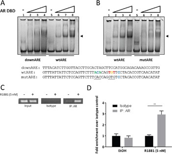 The androgen receptor associates with the SEMA3C intron 2 ARE In electrophoretic mobility shift assays, 50 basepair oligonucleotides at a final concentration of 1.875 μM were combined with increasing concentrations (0, 0.5, 1.0, 2.0 μM) of purified human androgen receptor DNA-binding domain (AR DBD) and run on a non-denaturing acrylamide gel. A shift (at arrow) was observed when AR DBD was combined with oligonucleotide containing the intron 2 ARE (wtARE) but not when combined with either a 50 bp oligonucleotide mapping to ∼200 bp downstream of the intron 2 ARE (downARE) A . nor when combined with an oligonucleotide with transversion mutations to six bases of the ARE (mutARE) B . Sequences of the oligonucleotides used for the assay are shown below; sequences shown are complementary to those of Figure 1 : Bases matching the JASPAR motif are shown in colour; mutations are underlined. ChIP assays were carried out on lysates of LNCaP treated with 0.05% ethanol (vehicle control) or 5 nM R1881. PCR was performed on 1% input (Input), isotype-matched control (Isotype), and AR immunoprecipitates (IP: AR). C . End-point PCR showed abundant levels of SEMA3C ARE amplicon in input and undetectable levels in isotype control irrespective of R1881 treatment. Ethanol-treated AR immunoprecipitates showed low but detectable levels of SEMA3C ARE amplicon whereas R1881 triggered enriched SEMA3C ARE amplicon in AR immunoprecipitates. Results were confirmed by qPCR D .; values represent fold enrichment over isotype control of the same treatment condition. ± SD; ** p