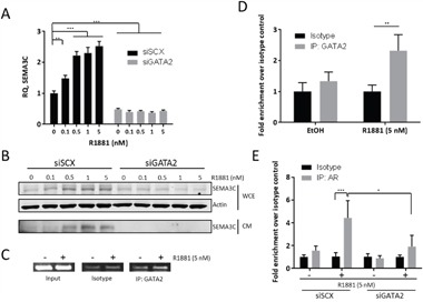 R1881-induction of <t>SEMA3C</t> expression is GATA2-dependent We examined R1881-induced expression of SEMA3C in the absence of GATA2 to confirm findings from previous microarray studies showing that knockdown of GATA2 decreases SEMA3C expression. When compared to LNCaP treated with scrambled siRNA (siSCX), knockdown of GATA2 (siGATA2) triggered a significant decrease in basal SEMA3C expression and completely attenuated R1881-mediated dose-dependent induction of SEMA3C as shown by qPCR A . These observations were confirmed at the protein level by Western blot analysis B . of both conditioned media (CM) and whole cell extract (WCE) where total actin served as loading control. In chromatin immunoprecipitation assays, SEMA3C ARE amplicon was shown be enriched in GATA2 immunoprecipitates of lysates from LNCaP cells treated with R1881 as shown by end-point C . and qPCR D . indicating an R1881-dependent recruitment of GATA2 to the SEMA3C intron 2 ARE. Input = 1% input, Isotype = isotype-matched control antibody, IP: GATA2 = GATA2 immunoprecipitates. PCR primers for these experiments were the same as those for Figure 3 and map to the SEMA3C intron 2 ARE. ChIP qPCR values represent a fold enrichment over isotype control of the same treatment condition. Chromatin immunoprecipitation assays previously showing R1881-induced recruitment of AR to the SEMA3C ARE were repeated in the presence of siRNA to GATA2 E . Values represent a fold enrichment over isotype control of the same treatment condition. Data represent mean, ± SD; * p