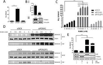 FOXA1 negatively regulates SEMA3C expression We assessed the effect of silencing of FOXA1 and POU2F1 on SEMA3C message levels. A . Knockdown of FOXA1 (siFOXA1) triggered an increase in SEMA3C levels when compared to cells treated with scrambled siRNA (siSCX); knockdown of POU2F1 (siPOU2F1) had no effect on SEMA3C expression. Knockdown of these genes was confirmed by qPCR (POU2F1) or Western blot (FOXA1; B .). In siFOXA1-treated cells where SEMA3C levels were already elevated, SEMA3C expression was further increased upon R1881 stimulation shown at both the message C . and protein D . level. Knockdown of POU2F1 had little effect on R1881 induction of SEMA3C (C, D). WCE: whole cell extract; CM: conditioned media. E . LNCaP cells were knocked down with siAR, siFOXA1, or both siAR and siFOXA1 and monitored for SEMA3C expression. Compared to LNCaP treated with scrambled siRNA, siAR-treated cells had decreased SEMA3C expression while siFOXA1 and siAR+siFOXA1-treated cells had elevated SEMA3C expression. Knockdown of AR and FOXA1 was confirmed by Western blot analysis (E). Data represent mean, ± SD; ** p