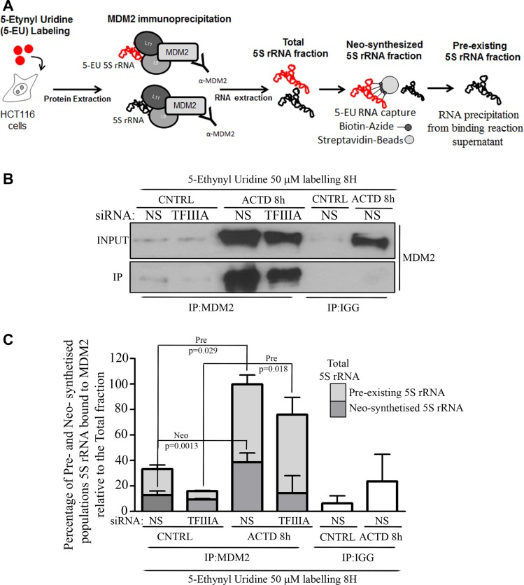 Pre-existing 5S rRNA is recruited to MDM2 binding during ribosome biogenesis inhibition ( A ) Graphical experimental design relative to the collection of 5S rRNA fractions from MDM2 immunoprecipitated samples. We labeled HCT116 cells with 5-EU and we performed MDM2 immunoprecipitation on the whole protein extract. The RNA extracted from immunoprecipitated samples was in turn subjected to the capturing of labeled fraction (by Click-it Nascent RNA capture kit, Life technologies, Eugene Oregon, USA) with the collection of the unlabeled fraction or was used directly as a total RNA fraction. RNA fractions were reverse-transcribed and qPCR was performed in order to measure the different amount of 5S rRNA (see also materials and methods). ( B ) Western Blot analysis of MDM2 immuoprecipitation. Whole protein extract was collected from HCT116 cells treated with ACTD (8nM) for 8 hours, 72 hours after siNS or siTFIIIA transfection procedure. Representative Western blots show the level of MDM2 both in INPUT or MDM2 and IGG immunoprecipitated samples (IP). ( C ) Fold changes of neo-synthesized and pre-existing 5S rRNA fractions relative to total 5S rRNA variations bound to MDM2 after TFIIIA interference and ACTD treatment. HCT116 cells were labeled for 8 hours, as indicated above by the experimental design. Whole protein extraction was immunoprecipitated with an antibody against MDM2 and RNA was extracted. Labeled and unlabeled RNA fraction was isolated via click chemistry approach and neo-synthesized, pre-existing and total 5S rRNA amount was evaluated by RT-qPCR (see also experimetal procedures). Graph bars represent mean ± SEM of three independent experiments.