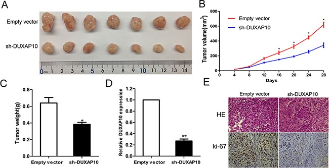 The stable DUXAP10 knockdown A549 cells were used for the in vivo study A and B . The nude mice carrying tumors from respective groups were shown and tumor growth curves were measured after the injection of A549 cells. Tumor volume was calculated every 4 days. C . Tumor weights are represented as means of tumor weights ±S.D. D . qPCR assay was performed to determine the average expression of DUXAP10 in xenograft tumors. E . Tumors developed from sh-DUXAP10 transfected A549 cells showed lower Ki67 protein levels than tumors developed by control cells. Upper: H E staining; Lower: immunostaining.