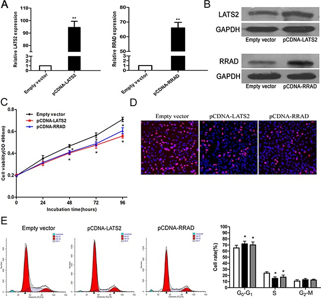 Effect of LATS2 and RRAD of overexpression on A549 cell in vitro A, B . The mRNA levels and protein levels of LATS2 and RRAD in A549 cells transfected with pCDNA–LATS2 or pCDNA-RRAD was detected by qPCR analysis. C, D . MTT assays and Edu staining assays were used to determine the cell viability. Values represent the mean ± s.d. from three independent experiments. E . Cell cycle was analyzed by flow cytometry. The bar chart represents the percentage of cells in G1–G0, S, or G2–M phase, as indicated. *P