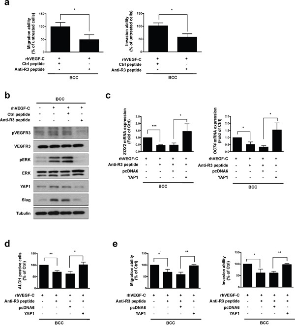 Anti-VEGFR3 peptide represses VEGF-C-induced signaling, cell mobility and cancer stemness in skin cancer a . A transwell assaydemonstrated the migration and invasion abilities in BCC cells pre-incubated with rhVEGF-C followed by anti-VEGFR3 (anti-R3) or control (Ctrl) peptide treatment. b . Western blot analysis of indicated proteins in rhVEGF-C-pre-incubated cells treated with anti-R3 or Ctrl peptide. c . qRT-PCR analysisof SOX2 and OCT4 mRNA expression in indicated cells. d . ALDH activity in indicated cells was analyzed by flow cytometry. e . A transwell assay showed migration and invasion abilities in indicated cells. The results are shown as the mean ± SD of three independent experiments, each performed in triplicate. * P