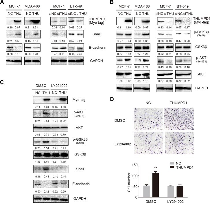 THUMPD1 promoted cancer cell invasion and migration via the AKT-GSK3β-Snail pathway THUMPD1 overexpression in MCF-7 and MDA-MB-468 cells upregulated Snail and downregulated E-cadherin, whereas THUMPD1 knockdown downregulated Snail and upregulated E-cadherin ( A ) p-AKT and its downstream target, p-GSK3β, were increased in THUMPD1-overexpressing MCF-7 and MDA-MD-468 cells, but decreased in THUMPD1-deficient MCF-7 and BT-549 cells ( B ) AKT inhibitor, LY294002 (10 μM), reversed the effects of THUMPD1 on p-AKT and p-GSK3β expression, decreasing Snail and increasing E-cadherin ( C ) and reducing THUMPD1-overexpressing MCF-7 cell invasion ( D ).