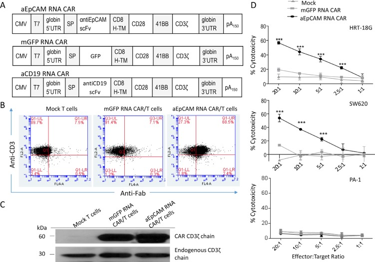 Electroporation of mRNA encoding anti-EpCAM CAR in human T cells and cytotoxicity of the CAR-modified T cells ( A ) Schematic diagrams of mRNA CAR constructs used in this study. ( B ) Flow <t>cytometric</t> analysis to examine anti-EpCAM CAR expression on T cells after electroporation. The cells were collected 24 hours after electroporation for analysis. ( C ) Western blot analysis using a CD3ζ-specific antibody confirms the CAR expression in T cells. The cells were collected 24 hours after electroporation for analysis. The endogenous CD3ζ was stained as an internal loading control. ( D ) In vitro cell lysis. Delfia EuTDA cytotoxicity assay (3 hours EuTDA culturing) was used to assess the cytotoxicity of anti-EpCAM RNA CAR-modified T cells against EpCAM-positive human cancer cell lines HRT-18G and SW620, as well as EpCAM-negative ovarian cancer cell line PA-1. mGFP RNA CAR-modified T cells were included as a control. Mean ± SD of three validation runs is represented. *** p