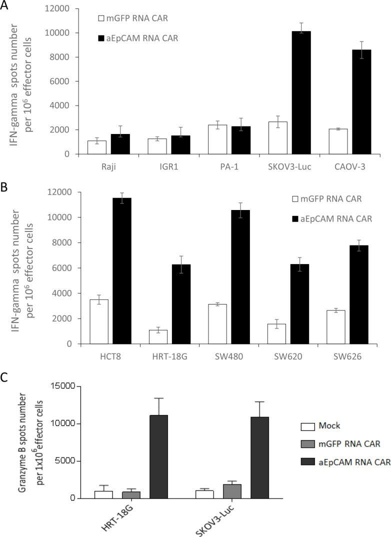 IFNγ secretion and granzyme B up-regulation triggered by tumor antigen-specific recognition of anti-EpCAM RNA CARs ( A and B ) Increased IFNγ secretion as determined by IFNγ ELISPOT assay. T cells were electroporated with anti-EpCAM RNA CARs and co-cultured with target tumor cells overnight before assay. mGFP RNA CAR-transfected T cells served as a negative control. Results from EpCAM-negative tumor cell lines Raji, IGR1, and PA-1 and EpCAM-positive cancer cell lines SKOV3-Luc and CAOV-3 are shown in ( A ) and results from EpCAM-positive cancer cell lines HCT8, HRT-18G, SW480, SW620 and SW626 in ( B ). ( C ) Granzyme B up-regulation as determined by granzyme B ELISPOT assay. EpCAM-positive tumor cell lines HRT-18G and SKOV3-Luc were tested as described in (A and B) Mean IFNγ or granzyme B spots per 1 × 10 6 T cells ± SD from triplicate cultures are shown in A, B and C.