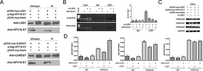 The effect of LSD1 and HPV16 E7 gene modulation on epigenetic change on the Viemntin promoter A . Association of LSD1 with HPV16 E7 in C33A cells. Immunoprecipitation with an antibody against LSD1, followed by immunoblotting with an antibody against HPV16 E7, demonstrated that HPV16 E7 co-immunoprecipitated with LSD1. Association of Co-Rest with HPV16 E7 in C33A cells. Immunoprecipitation with an antibody against Co-REST, followed by immunoblotting with an antibody against HPV16 E7, demonstrated that HPV16 E7 co-immunoprecipitated with Co-REST. B . HPV16 E7 suppressed the recruitment of LSD1 to the Vimentin promoter. Occupancy of LSD1 at the Vimentin promoter was markedly lower in HPV16 E7 -overexpressing cells and siLSD1 C33A cells than in blank cells, as shown by ChIP analysis with an LSD1 antibody. C . The histone change caused by LSD1 and its relationship with HPV16 E7. In Western blotting, <t>H3K4me1</t> and H3K4me2 protein levels were reduced in LSD1 -overexpressing C33A cells, but not in HPV16 E7 -overexpressing cells. Knockdown of LSD1 induced the expression of H3K4me1 and H3K4me2. H3K9me2 protein levels remained the same in all groups. D . In ChIP assays, the levels of H3K4me1 and H3K4me2 at the Vimentin promoter were lower in LSD1 -overexpressing cells than in blank cells. The level of H3K4me1 at the Vimentin promoter was greater in HPV16 E7 -overexpressing cells than in blank cells and LSD1 -overexpressing cells. The level of H3K4me2 at the Vimentin promoter was greater in HPV16 E7 -overexpressing cells than in LSD1 -overexpressing cells. The level of H3K9me2 remained the same.