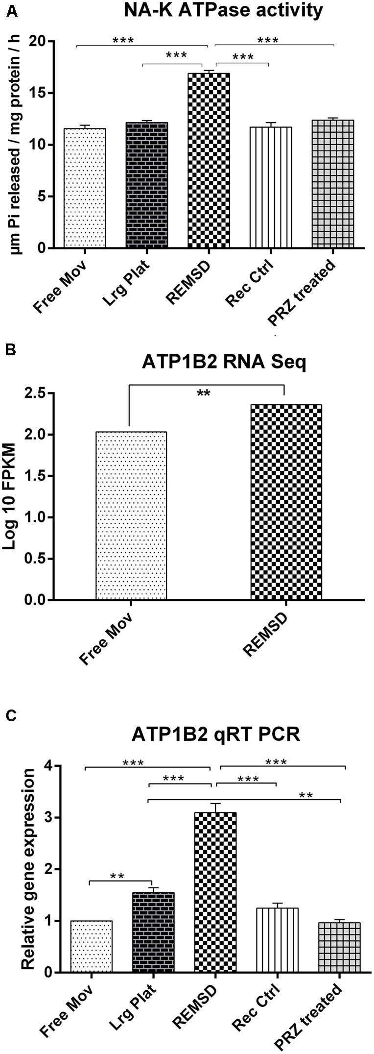 Na–K ATPase activity and expression: (A) Na–K ATPase activity in synaptosomes prepared from rat brains ( n = 4 rats per groups). (B) RNA seq data showing significant up-regulation of ATP1B2 transcripts upon REMSD ( P