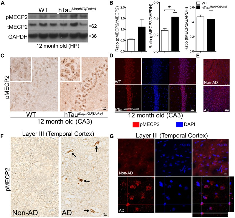 MECP2 phosphorylation is up-regulated in 12-month-old hTau MaptKO ( Duke ) mice and in human AD brain. (A,B) Western blot analysis showing pMECP2/GAPDH ratio significantly higher [ ∗ p
