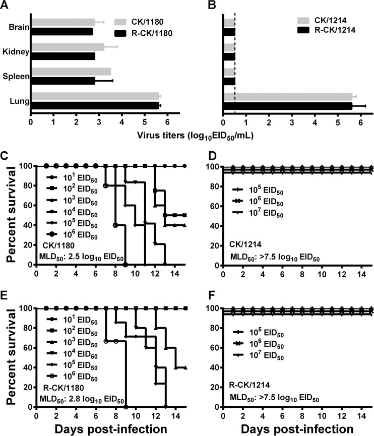 Replication and lethality of the CK/1180 and CK/1214 viruses in mice. (A and B) Six-week-old SPF BALB/c mice (three/group) were inoculated intranasally with 10 6 EID 50 of each virus, and organs were collected on day 3 postinfection for virus titration in eggs. Data are means ± standard deviations (SD). (C to F) Mortality assessment of mice infected with different H5N1 viruses: CK/1180 (C), CK/1214 (D), R-CK/1180 (E), and R-CK/1214 (F).