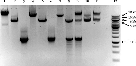 Gel electrophoresis separation of double-primer and single-primer PCR products. 1: Parental plasmid pET22b alone; 2: PCR product from reaction with primers pet22b1/pet22b2 using plasmid pET22b as template; 3: PCR product from reaction with primers radA1/radA2 using E. coli genomic DNA as template; 4: PCR product from reaction with primers GeneCluster3-1/GeneCluster3-2 using E. coli genomic DNA as template; 5: annealed PCR products from two single-primer linear reactions using primer pet22b3 or pet22b4, and the DNA sample from lane 2 as template; 6: annealed PCR products from two single-primer linear reactions using the primer radA2fw or radA2rv, and the DNA sample from lane 3 as template; 7: annealed PCR products from two single-primer linear reactions using the primer GeneCluster3-3 or GeneCluster3-4, and the DNA sample from lane 4 as template; 8: mixture of DNA samples from lanes 5 and 6 in a molar ratio of 1:3, ready for ligation; 9: mixture of DNA samples from lanes 5 and 6 in a molar ratio of 1:3, after ligation; 10: mixture of DNA samples from lanes 5 and 7 in a molar ratio of 6:1, ready for ligation; 11: mixture of DNA samples from lanes 5 and 7 in a molar ratio of 6:1, after ligation; 12: DNA ladder. PCR products were purified using a QIAquick purification kit (Qiagen) and electrophoresed in 1% agarose with Tris-acetate (40 mM Tris, 20 mM sodium acetate, 1 mM EDTA, pH 8.0) as the running buffer