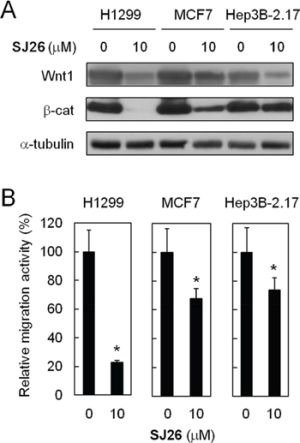 SJ26 suppressed cell migration in H1299, MCF7 and Hep3B 2.17 cells A. SJ26 suppressed <t>Wnt1/β-catenin-signaling</t> pathway in H1299, MCF7 and Hep3B 2.17 cells. Cells were treated with 10 μM SJ26 and the total cell extracts were prepared. Immunoblotting analysis was conducted using antibodies against Wnt1, β-catenin, or α-tubulin. B. H1299, MCF7 or Hep3B 2.17 cells were incubated with 10 μM of SJ26 and were subjected to trans-well assay analysis. The extent of cell migration across the wells was recorded after 6 hours. The value of migration rate in DMSO-treated cells was defined as 1. Asterisks indicate p