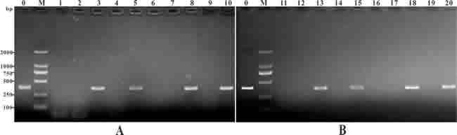 PCR detection of plasmid DNA in muscle of the vaccinated fish Channel fish were treated with PBS (lane 1, 6, 11, 16), or vaccinated with pcDNA3.1 (lane 2, 7, 12, 17), pcIL-8 (lane 3, 8, 13, 18), pcENO (lane 4, 9, 14, 19) and pcENO+pcIL-8 (lanes 5, 10, 15, 20) respectively. Muscle samples were taken and used for DNA extraction from the vaccinated fish at 7 days (lanes 1-5), 14 days (lanes 6-10), 28 days (lanes 11-15) and 56 days (lanes 16-20) p.v. respectively. Lane 0 (positive control): PCR product of plasmid pcIL-8, lane M: DNA markers (DL2000).