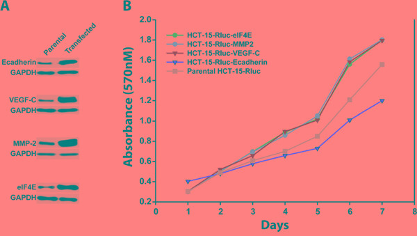The growth rates of colon cancer cell lines HCT-15/Rluc with overexpression of E-cadherin, MMP-2, VEGF-c and eIF4E and parental HCT-15/Rluc A. Western blotting showed that the stable cell lines including HCT-15/Rluc/E-cadherin, HCT-15/Rluc/VEGF-C, HCT-15/Rluc/MMP-2, and HCT-15/Rluc/eIF4E were constructed successfully. B. The stable colon cancer cell lines with overexpression of E-cadherin, MMP-2, VEGF-c and eIF4E as well as parental HCT-15/Rluc cell line showed different growth rates.
