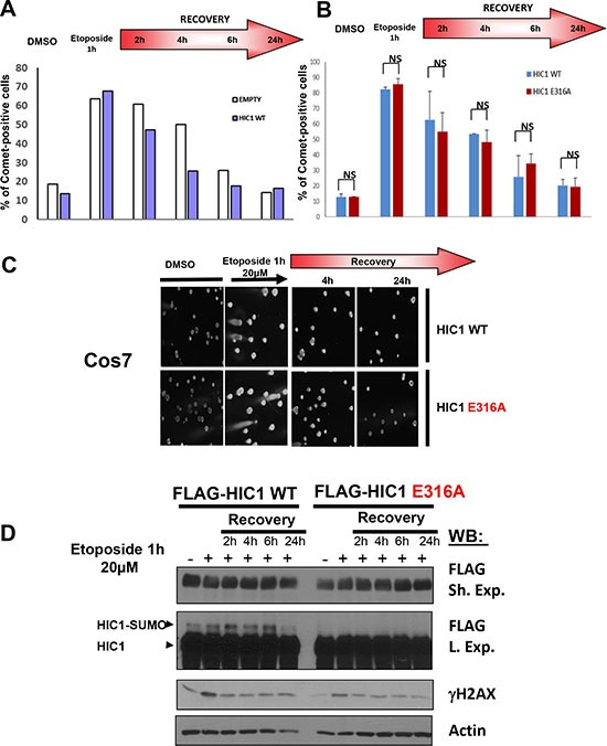 HIC1 SUMOylation is not required for efficient DSBs repair ( A ) Cos7 cells were transfected for 48 hours with wt FLAG-HIC1 or with the empty pcDNA3FLAG expression vector. Cells were either mock-treated with DMSO (–) or treated with 20 μM etoposide (+) for 1 hour. After removal of the drug, cells were allowed to recover in normal medium for various times (2, 4, 6 and 24 hours) and DSBs were monitored by neutral Comet assay. The percentage of Comet positive cells reflecting unrepaired DNA breaks is depicted after counting at least 100 cells in each condition. ( B ) Cos7 cells were transfected for 48 hours with wt FLAG-HIC1 or with the non-SUMOylatable E316A point mutant. Neutral Comet assays were performed and analyzed as described in panel A). The error bar indicates mean +/– standard deviation of three independent experiments (NS: not significant). ( C ) Representative Comet images of mock-treated (DMSO) and of cells treated with etoposide for 1 hour after transfection of wt HIC1 or of E316A HIC1 with or without recovery in normal medium for 4 and 24 hours, respectively. ( D ) Western blot analyses of cells transfected with wt HIC1 or with E316A HIC1 Samples of cells in each condition were taken before the Comet assays and immediately lysed in Laemmli loading buffer. These whole cell extracts were analyzed by Western blot with anti-FLAG antibodies to detect HIC1 and its SUMOylated forms. γH2AX and actin levels were used as controls for DSB induction and equal loading, respectively.