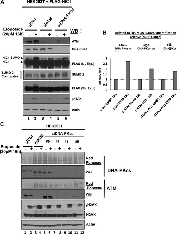 The SUMOylation increase of HIC1 upon induction of irreparable DSBs is dependent on ATM but independent of DNA-PKcs ( A ) HEK293T cells were transfected either with nontargeted control siRNA (siCtrl), either with a pool of four siRNAs targeting ATM (siATM) or with a pool of four siRNAs targeting DNAPKcs (siDNAPKcs). The next day, these cells were transfected with a FLAG-HIC1 expression vector for 24 hours and were then treated with 20 μM etoposide (+) or mock-treated with DMSO (–) as control for 16 hours before direct lysis in denaturing conditions. Total cell extracts were analyzed by Western Blotting (WB) using the indicated antibodies. ( B ) Quantification of SUMO-HIC1. The HIC1 SUMOylated band in control conditions (siCtrl, DMSO 16 h; lane 1 in panel A) was quantified with the Fujifilm MultiGauge software and given the arbitrary value of 1. The other HIC1 SUMOylated bands (lanes 2 to 6 in panel A) were quantified relative to this value. ( C ) HEK293T cells were transfected either with nontargeted control siRNA (siCtrl), a pool of four siRNAs targeting ATM (siATM) or with each individual siRNA from the pool targeting DNA-PKcs (siDNA-PKcs). Then, cells were treated with etoposide and total cell extracts were analyzed by Western blot on three different gels (two 6% polyacrylamide gels for DNAPK-cs and ATM; a 15% polyacrylamide gel for γH2AX, H2AX and actin) as described in panel A.