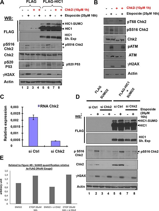 The increase of HIC1 SUMOylation upon irreparable DSB induction by etoposide requires ATM but not its effector kinase Chk2 ( A ) HEK293T cells were transfected with the FLAG and FLAG-HIC1 vectors. 48 hours after transfection, cells were pre-incubated or not with the Chk2 inhibitor (Chk2i) for 1 hour and then with etoposide for 16 hours as indicated. Cell extracts were prepared and Western blotting was performed with the indicated antibodies. *refers to non-specific bands detected by the anti pS516Chk2 (autophosphoylation) and by the anti pS20P53 (Chk2 target) antibodies. γH2AX and actin levels were used as controls for DSBs induction and equal loading, respectively. ( B ) To control for the inhibition of Chk2, HEK293T cells were transfected and pre-incubated or not with the Chk2 inhibitor (Chk2i) for 1 hour and then with etoposide for 16 hours exactly as in panel A) before lysis and Western blot analyses with the indicated antibodies ( C ) HEK293T cells grown in normal medium were transfected with siRNA control (siCtrl) or with a Chk2 siRNA pool (siChk2). Total RNAs were extracted and the mRNA expression levels of Chk2 were assessed by qRT-PCR. Values were normalized to 18S . ( D ) HEK293T cells were transfected either with non-target control siRNA (siCtrl) or with a Chk2 siRNA pool (siChk2) before being transfected with the indicated combination of FLAG, FLAG-HIC1 and SUMO-2 expression vectors. Cells were either incubated with DMSO (–) or with 20 μM etoposide (+) for 16 hours. Total cell extracts were prepared and analyzed by Western blotting with the indicated antibodies. *refers to a non-specific band detected by the anti pS516Chk2, used as a control for Chk2 kinase activity. γH2AX and actin levels were used as controls for DSBs induction and equal loading, respectively. ( E ) Quantification of SUMO-HIC1 to total HIC1 (FLAG) for lanes 5 to 8 in panel D) was performed with the Fujifilm MultiGauge software.