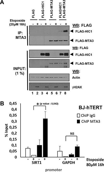 Irreparable DSBs induced by a 16 hour etoposide treatment lead to an increased interaction of MTA3 with HIC1 and favor its recruitment to the HIC1-response elements in the SIRT1 promoter ( A ) Etoposide-induced non-repairable DSBs lead to an increase of MTA3 interaction with HIC1. HEK293T cells were transfected with the indicated combination of empty FLAG, FLAG-HIC1, and FLAG-MTA3 expression vectors. 32 hours after transfection cells were incubated for 16 hours with 20 μM etoposide (+) or with DMSO (–) as control. After lysis in IPH buffer, cell extracts were co-immunoprecipitated with anti-MTA3 antibodies. The immunoprecipitates as well as 1% of the whole cell extracts were analyzed by SDS/PAGE and transferred to membranes. Relevant pieces of the membranes were cut and analyzed by Western blot with anti-FLAG antibodies to detect MTA3 and HIC1. ΔH2AX and actin levels were used as controls for DSB induction and equal loading, respectively. ( B ) Etoposide-induced irreparable DSB lead to an increase of MTA3 recruitment on the HiRE in the SIRT1 promoter. Chromatin was prepared from BJ-hTERT fibroblasts mock-treated with DMSO or treated with 80 uM etoposide for 16 hours to induce irreparable DSB and ChIP experiments were performed with antibodies against MTA3 or rabbit IgG. The bound material was eluted and analysed by quantitative PCR using primers flanking the HIC1-responsive elements (HiRE) in the SIRT1 promoter [ 6 ], as previously described [ 46 ]. GAPDH was used as a nonbinding control. Values that are statistically significantly different are indicated by bars and asterisks as follows: *P