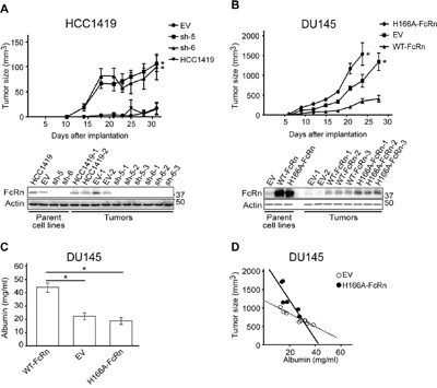 The expression level of FcRn controls the growth of tumor xenografts A . Mice (n = 6-8 mice/group) were implanted with HCC1419 cells transduced with shRNAs targeting FcRn (sh-5, sh-6) or empty vector (EV) and tumor size monitored (upper panel). Statistically significant differences between the EV group and knockdown (sh-5, sh-6) groups from days 18-31 are indicated by * (two-way ANOVA with Tukey post-hoc comparison; p