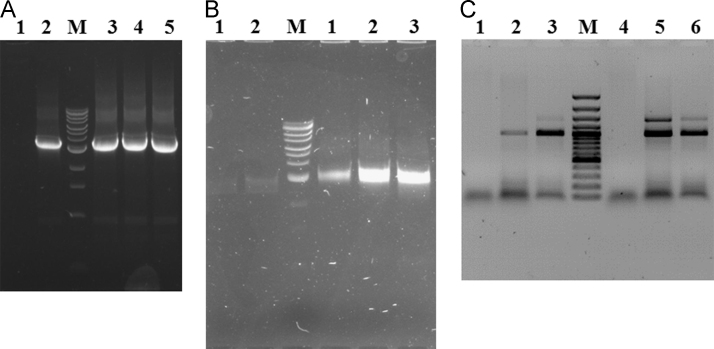 Comparative PCR analyses of different samples with the self-made enzyme and the commercial ones. PCR analyses of the same DNA fragment as a part of a plasmid (A) and bacterial chromosome (B). The reactions contained (1) 2.5 u and (2) 5 u of Taq DNA polymerase supplied by Evrogen; (3) 0.5 μl, (4) 1 μl and (5) 2 μl of the self-made enzyme. Lane M contains the DNA ladder (New England Biolabs, #N3239S): 0.5, 1, 1.5, 2, 3 (more intense fragment), 4, 5, 6, 8, 10, 15, 20, 48.5 kbp. A common master mix was prepared for all samples. (C) PCR analyses of two cassettes incorporated in a binary plasmid DNA (3, 6) and in genomic DNA of transgenic chrysanthemum plant (2, 5). Lane M contains the DNA ladder (Thermo Fisher Scientific, #SM0321): 100, 200, 300, 400, 500 (more intense fragment), 600, 700, 800, 900, 1000 (more intense fragment), 1200, 1500, 2000, 3000 bp. On the left from lane M there are the reactions which contained 1 u of Thermo Fisher Scientific Taq DNA polymerase (#EP0402). On the right from the lane M there are the reactions which contained 1 μl of the self-made enzyme. Lanes (1 and 4) contains the control reactions without addition of DNA. A common master mix was prepared for all samples.