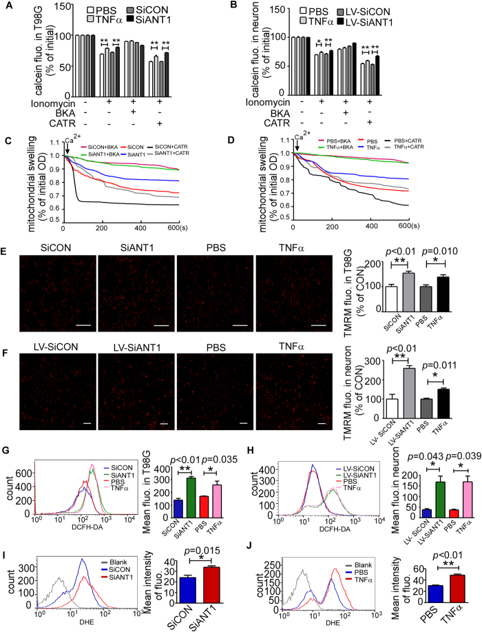 NF-κB decreased Ca 2+ -induced mPTP opening, increased Δψ m and ROS. ( A , B ) To determine mPTP opening, cells in different treatment groups were loaded with calcein-AM for 30 minutes and subsequently incubated with ionomycin (5 μM), BKA (5 μM) or CATR (1 μM) for another 30 minutes. The mPTP opening level was measured as calcein loss by Varioskan flash instruments (Thermo Scientific, USA). The histogram depicts the means of remaining calcein fluorescences of treatment groups ± SEM (n = 4); * p = 0.028 ** p