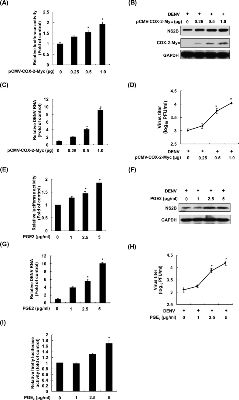 COX-2 overexpression and PGE 2 treatment increase DENV-2 replication. COX-2 overexpression induced DENV-2 replication in ( A ) DENV-2 replicon cells and ( B and C ) the DENV infection system. Huh-7-D2-FLuc-SGR-Neo DENV replicon reporter cells were transfected with pcDNA4/Myc or pcDNA4-COX-2-Myc at the indicated concentrations. After 3 days of incubation, the cell lysates were subjected to a luciferase activity assay. Huh-7 cells were transfected with pcDNA4/Myc or pcDNA4-COX-2-Myc at the indicated concentrations, and the transfected cells were infected with DENV-2 at an MOI of 1. After 3 days of incubation, the cell lysates and cellular RNA were subjected to western blotting and RT-qPCR. ( D ) COX-2 overexpression increased DENV-2 propagation. The transfected Huh-7 cells were infected by DENV-2 at a MOI of 1 for 3 days. Supernatants were collected and subjected to a viral plaque assay. PGE 2 treatment induced DENV-2 replication in ( E ) viral replicon cells and ( F and G ) the DENV infection system. Huh-7-D2-FLuc-SGR-Neo DENV replicon reporter cells were treated with PGE 2 at the indicated concentrations for 3 days and the cell lysates were subjected to a luciferase activity assay. Huh-7 cells were infected with DENV-2 at an MOI of 1, and the infected cells were treated with PGE 2 at the indicated concentrations for 3 days. Western blotting was performed with anti-NS2B, anti-Myc, and anti-GAPDH antibodies. Relative RNA levels of DENV-2 was determined by RT-qPCR following the normalization of cellular gapdh mRNA levels. ( H ) PGE 2 treatment induced DENV-2 propagation. Huh-7 cells were infected with DENV-2 at an MOI of 1 and then treated with PGE 2 . Supernatants were collected and subjected to a viral plaque assay. ( I ) PGE 2 treatment induced DENV-2 NS5 polymerase activity. Huh-7 cells were cotransfected with p(+)RLuc-(−)DV-UTRΔC-Fluc reporter template (0.5 μg) and pcDNA-NS5-Myc expression plasmid (0.5 μg), and the transfected cells were treated with PGE 2 at the 