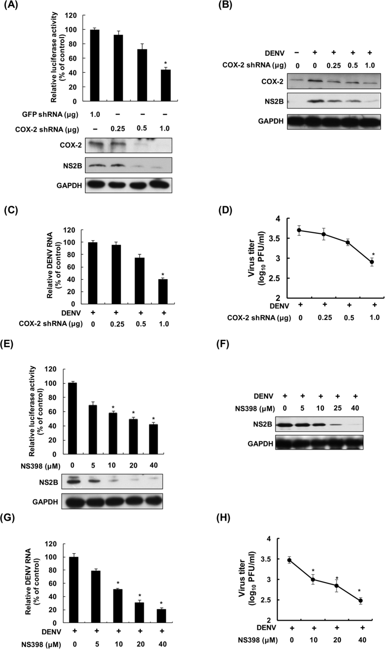 Reduction of COX-2 expression and catalytic activity by shRNA or NS398 reduce DENV replication. COX-2 shRNA reduced DENV replication in ( A ) DENV replicon cells and ( B to D ) a DENV infection system. Huh-7-D2-FLuc-SGR-Neo DENV replicon cells were transfected with GFP or COX-2 shRNA at the indicated concentrations for 3 days and the cell lysates were subjected to a luciferase activity assay and western blotting. Huh-7 cells were transfected with COX-2 shRNA at the indicated concentrations, and the transfected cells were infected with DENV-2 at an MOI of 1. After 3 days of treatment, the cell lysate, cellular RNA and supernatants were analyzed by western blotting, RT-qPCR or plaque assay, respectively. NS398 reduced DENV replication in ( E ) DENV replicon cells and ( F to H ) a DENV infection system. Huh-7-D2-FLuc-SGR-Neo DENV replicon cells were treated with NS398 at different concentrations (0, 5, 10, 20, and 40 μM) for 3 days, and the cell lysates were subjected to a luciferase activity assay and western blotting. Huh-7 cells were infected with DENV-2 at an MOI of 1 and then treated with NS398 at different concentrations (0, 5, 10, 20, and 40 μM) for 3 days. Western blotting was performed with anti-COX-2, anti-NS2B, and anti-GAPDH antibodies. The relative RNA level of DENV-2 was determined by RT-qPCR following normalization to the cellular gapdh mRNA level. All data are indicative of at least three independent experiments, with each measurement performed in triplicate. Error bars are expressed as the mean ± SD of three independent experiments; * P