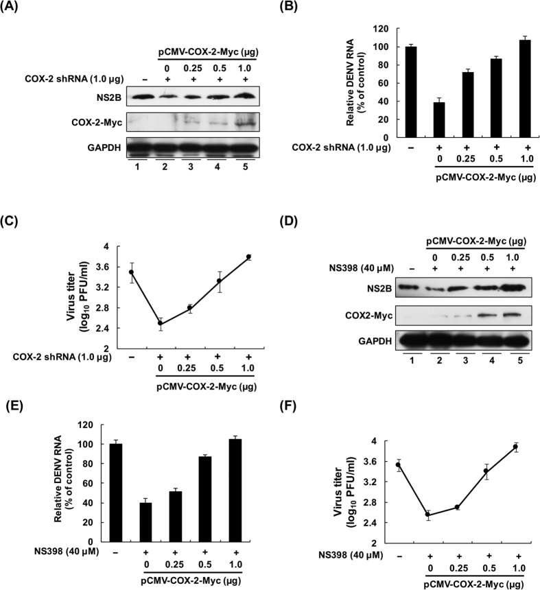 COX-2 expression is required for viral replication. ( A to C ) Exogenous COX-2 expression restored DENV-2 protein synthesis, RNA replication and viral propagation in COX-2 shRNA-transfected cells. Huh-7 cells were cotransfected with COX-2 shRNA (1.0 μg) and pCMV-COX-2-Myc (0.25, 0.5, and 1.0 μg), followed by DENV-2 infection at an MOI of 1. ( D to F ) Exogenous COX-2 expression restored DENV-2 protein synthesis, RNA replication and viral propagation in NS398-treated cells. Huh-7 cells were transfected with pcDNA4/Myc (0.5 μg) or pCMV-COX-2-Myc (0.25, 0.5, and 1.0 μg), followed by DENV-2 infection at an MOI of 1. The cells were treated with DMSO or 40 μM NS398 for 3 days. Western blotting was performed with anti-NS2B, anti-Myc, and anti-GAPDH antibodies. The relative RNA level of DENV-2 was determined by RT-qPCR following normalization to the cellular gapdh mRNA level. All data are indicative of at least three independent experiments, with each measurement performed in triplicate. Error bars are expressed as the mean ± SD of three independent experiments; * P
