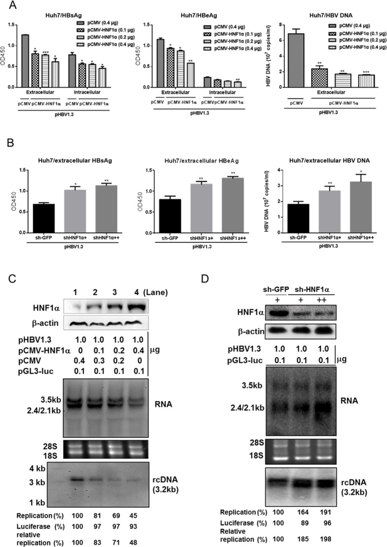 HNF1α inhibits HBV gene expression and replication in Huh7 cells. (A) HNF1α overexpression inhibited HBV antigen and DNA productions. Huh7 cells cultured in 24-well plate were co-transfected with the indicated plasmids. 48 hours post-transfection, the extracellular levels of HBsAg, HBeAg and HBV DNA and the intracellular levels of HBsAg and HBeAg were measured. (B) Knockdown of endogenous HNF1α expression enhanced HBV antigen and DNA productions. Huh7 cells cultured in 6-well plate were transduced by the lentivirus expressing sh-HNF1α (+ and ++ stand for 0.5 ml and 1 ml lentivirus supernatant per well, respectively) or sh-EGFP. 16 hours post-transduction, cells were transfected with pHBV1.3 (1 μg). The extracellular levels of HBsAg, HBeAg and HBV DNA were determined. Means and SEMs of data from at least three independent tests were plotted. * P